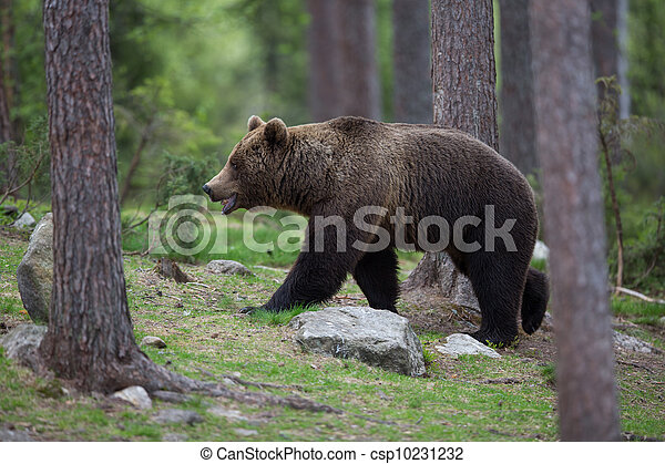 Brown bear in Tiaga forest - csp10231232