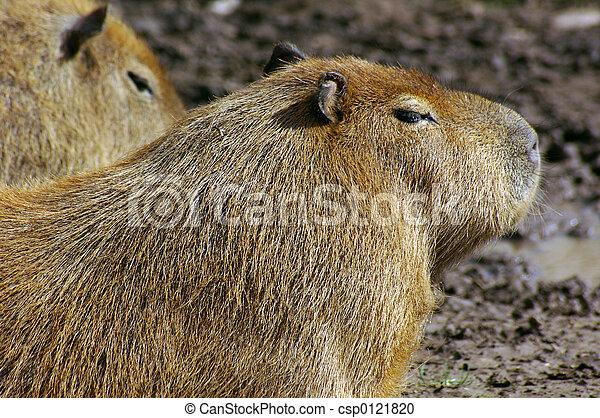 Capybara (Hydrochoerus hydrochaeris) 02 - csp0121820