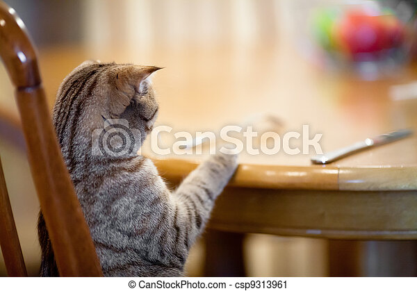 Cat waiting for food sitting like man at table - csp9313961