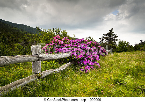 Roan Mountain State Park Carvers Gap Rhododendron Flower Blooms Nature outdoors with wooden fence - csp11009099
