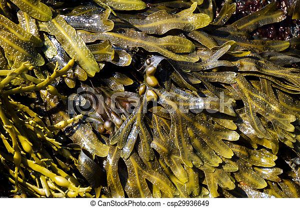 Sea tangle - csp29936649
