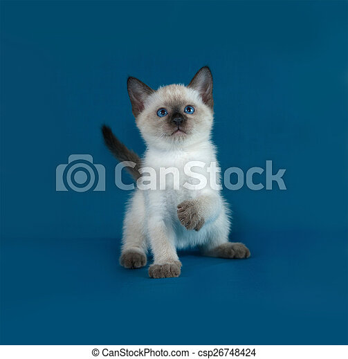 Thai white kitten sitting on blue - csp26748424