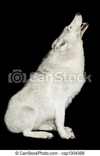 Wolf howling - csp1004368